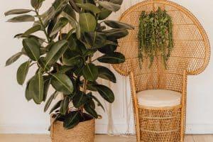 12 Best Rubber Tree Fertilizers