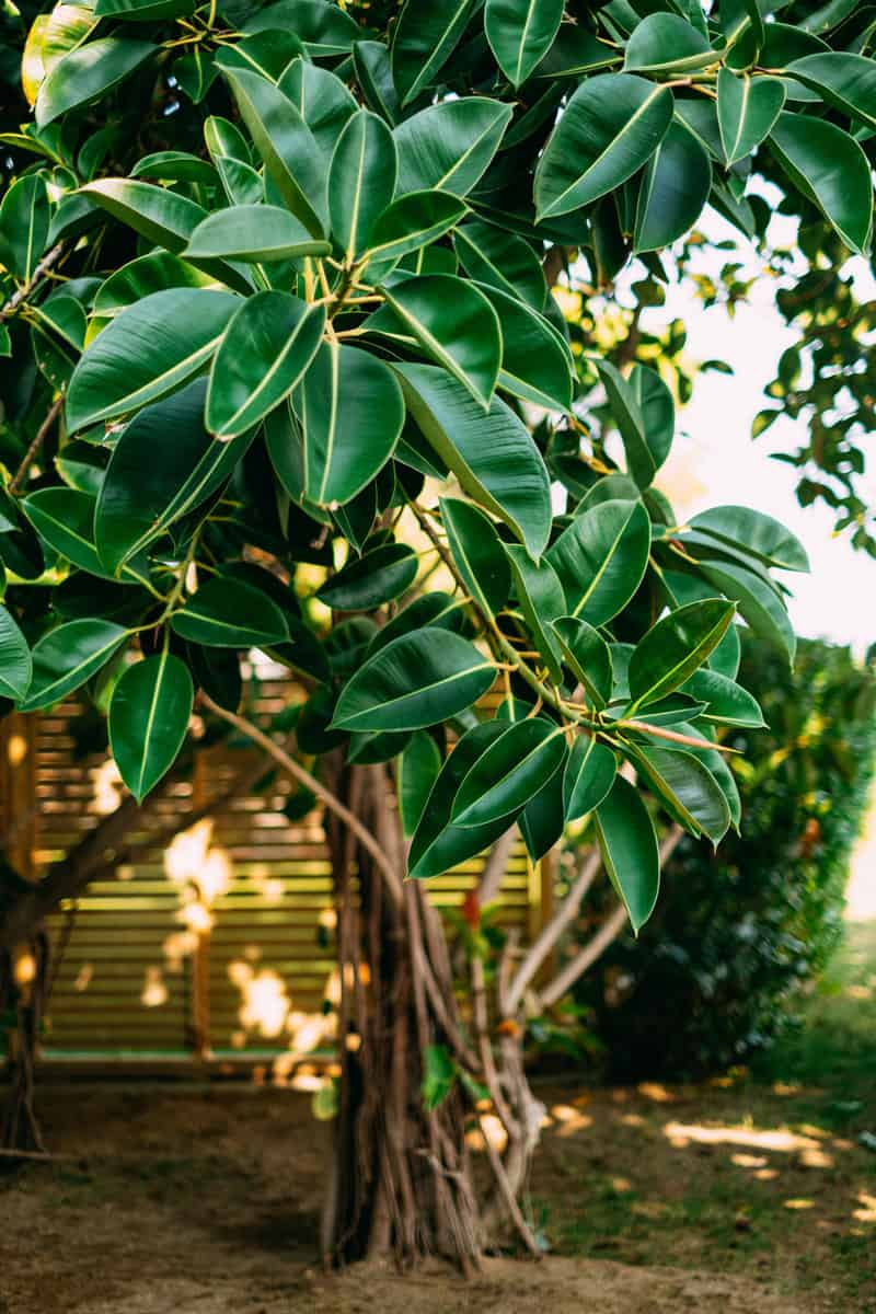 Rubber tree at the garden