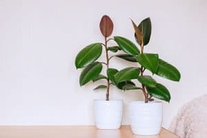 How Much Light Does A Rubber Tree Need?