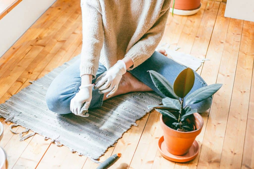 Woman putting on gardening gloves to start planting her rubber plant, How Big Does A Rubber Tree Get [Indoors And Outside]