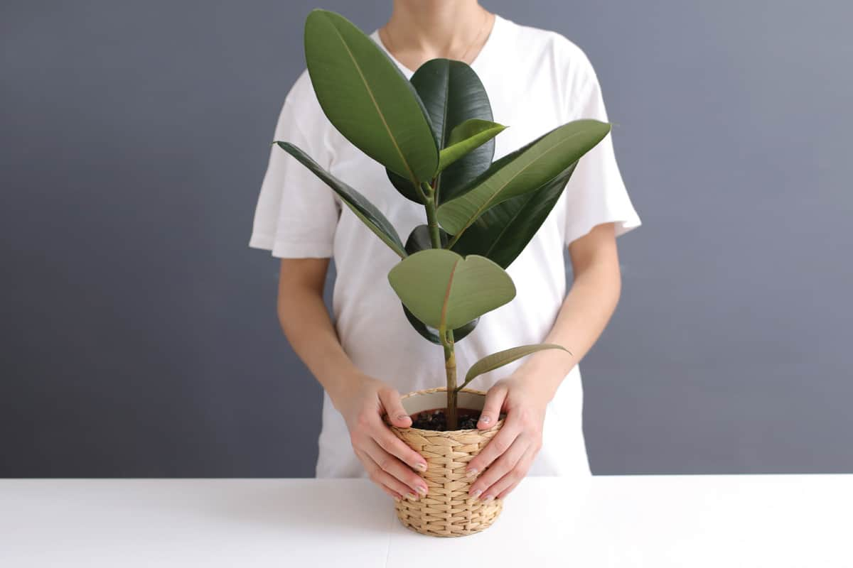 young woman in white t-shirt holds in her hands a wicker pot with a ficus flower.
