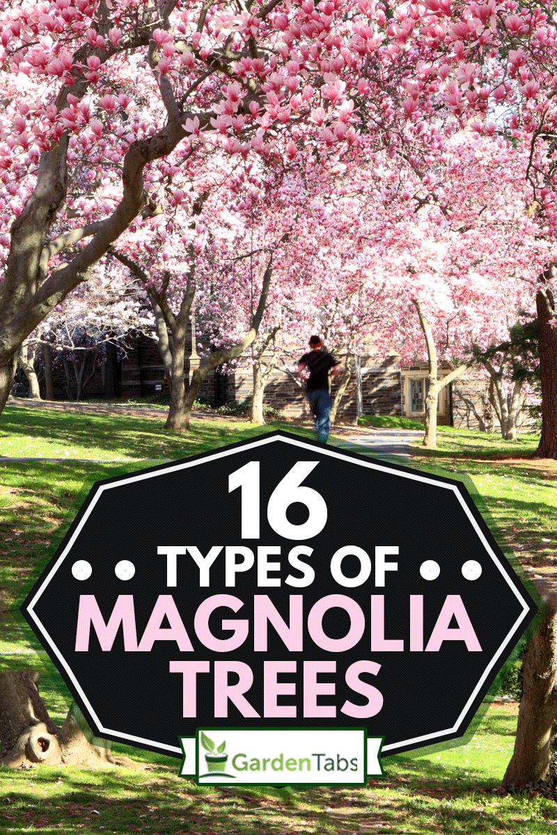 Magnolia blossom with a man running on the road at the back, 16 Types of Magnolia Trees