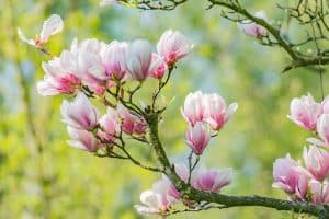 A Magnolia tree with its leaves blooming gorgeously, Can Magnolia Trees Bloom Twice A Year? [Including In Florida, Texas, And California]