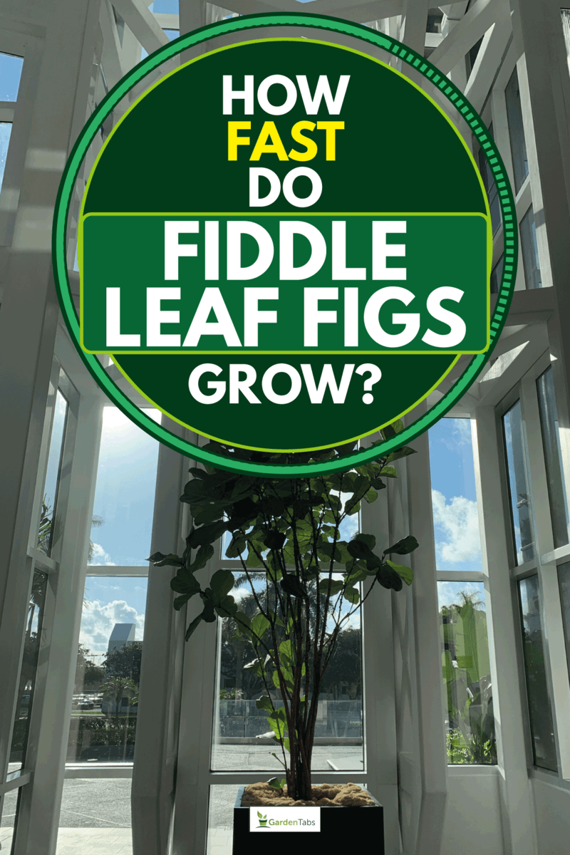 A fiddle leaf fig tree indoors in natural light, How Fast Do Fiddle Leaf Figs Grow?