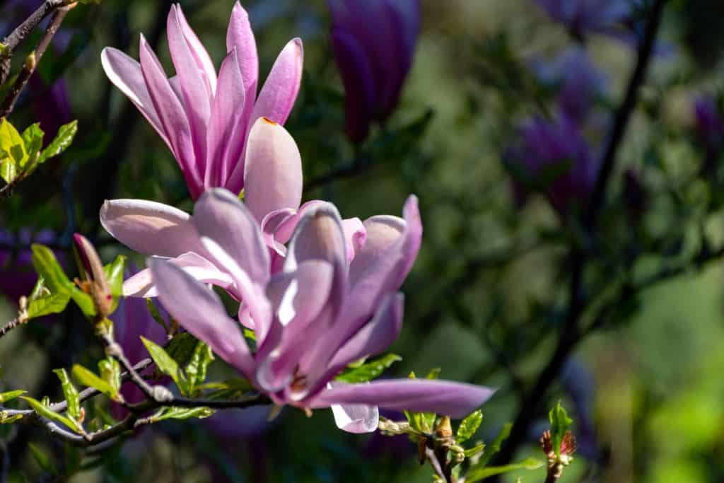 A gorgeous blooming magnolia tree on a sunny day