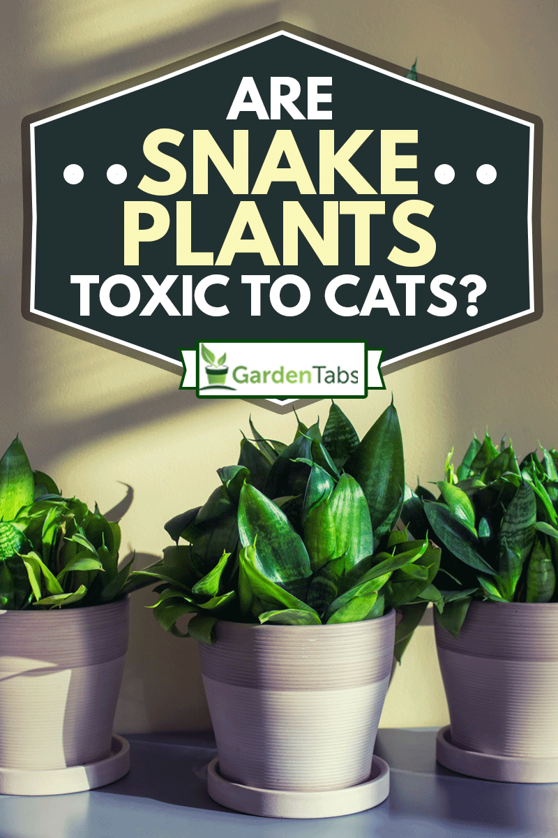 Three homeplants of sanseviera in pots on gray table, Are Snake Plants Toxic To Cats?