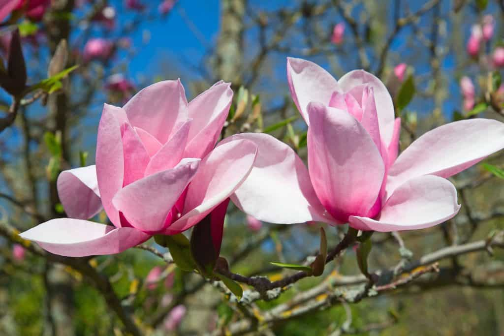 Blooming flowers of a Magnolia tree in summer