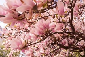 Blooming magnolia tree closeup