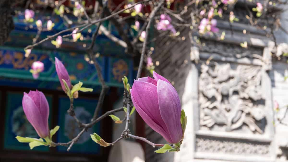 Close Up of Chinese Magnolia Tree Blossom at Taoist Temple, Xi'an, China