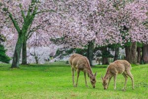 Deer eating grass under magnolia tree, Do Deer Eat Magnolia Trees?