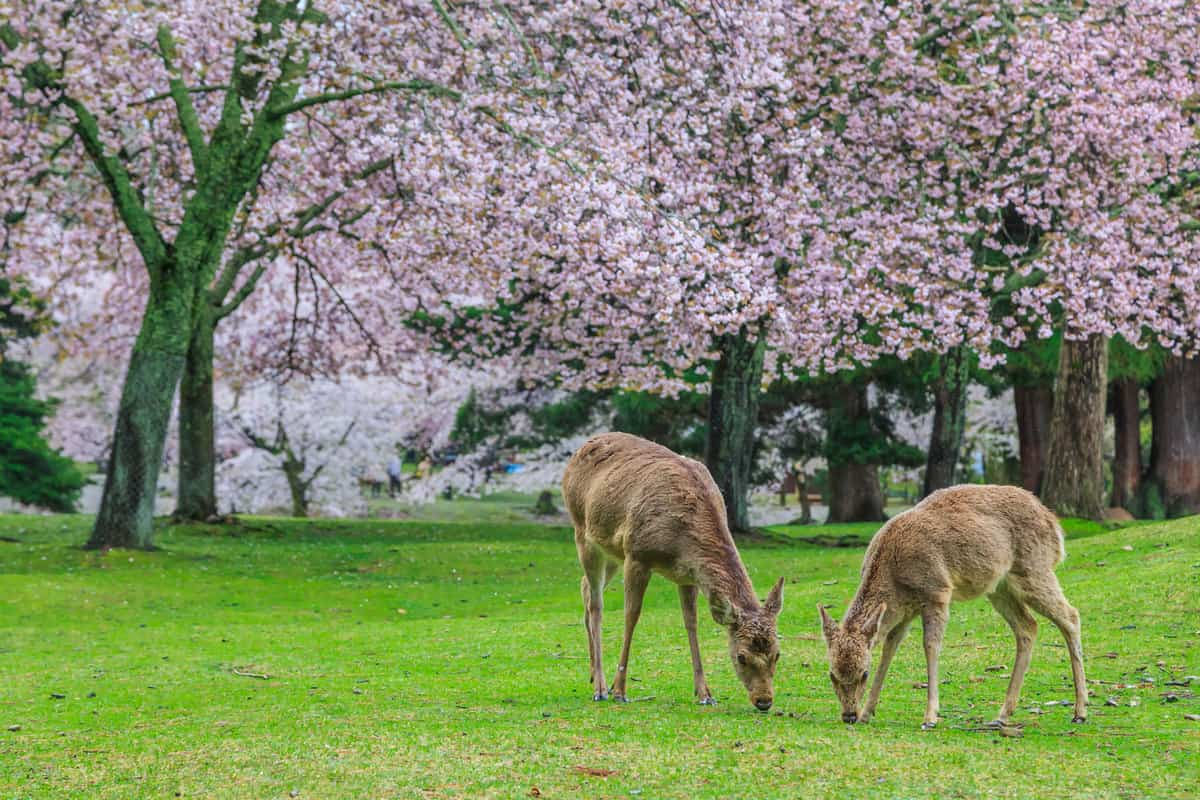 Deer eating grass under magnolia tree, Do Deer Eat Magnolia Trees?