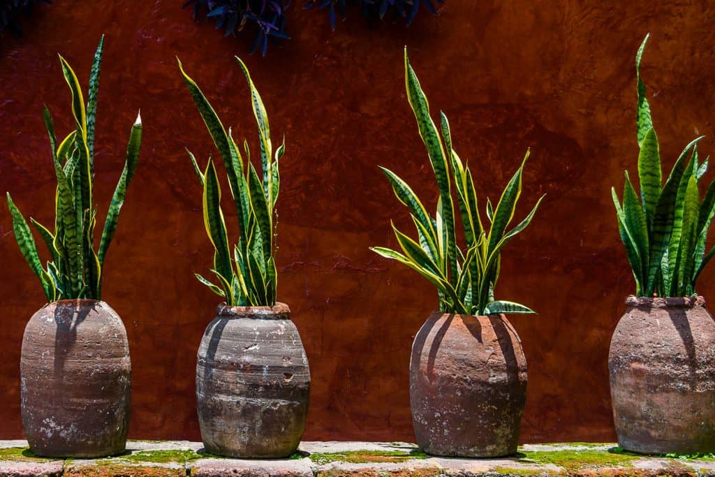 Four gorgeous snake plants planted on clay brown pots