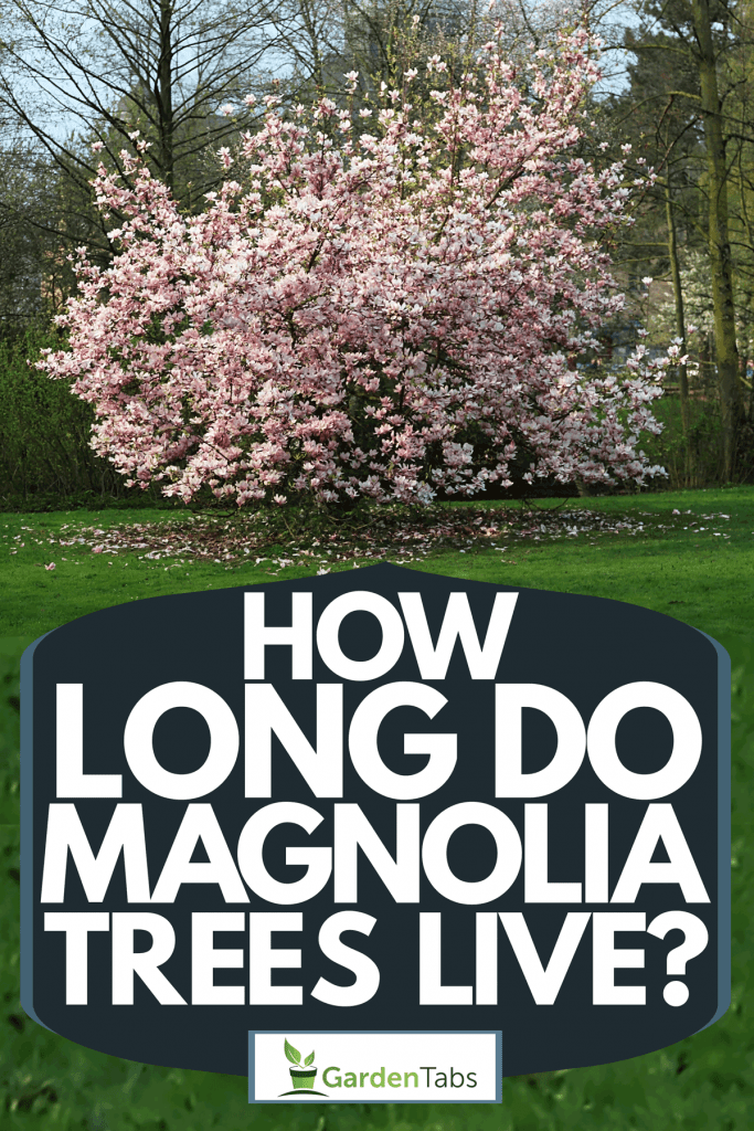 A gorgeous magnolia tree blooming outside a garden, How Long Do Magnolia Trees Live?