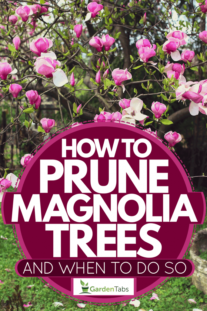 Magnolia flowers blooming gorgeously on a park, How To Prune Magnolia Trees [And When To Do So]