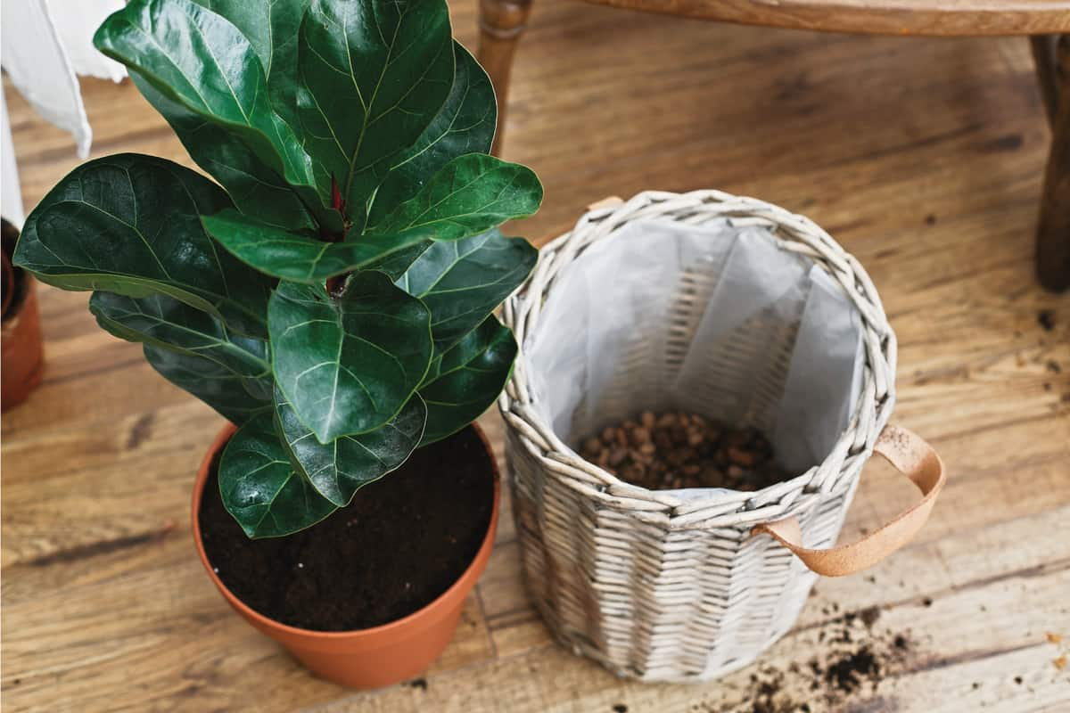 Repotting fiddle leaf fig tree in big modern pot