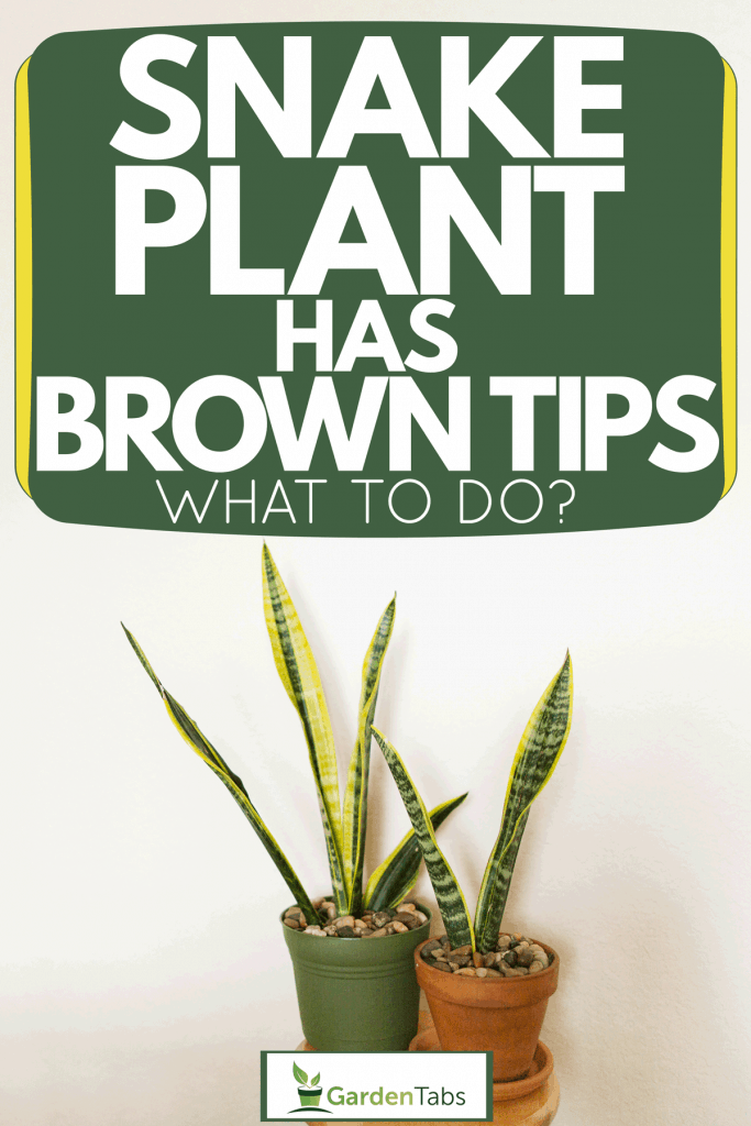 Two snake plants planted on a green and clay pot placed on a wooden stool next to a wall, Snake Plant Has Brown Tips - What To Do?