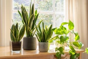 How Big Do Snake Plants Get? (And How Fast)