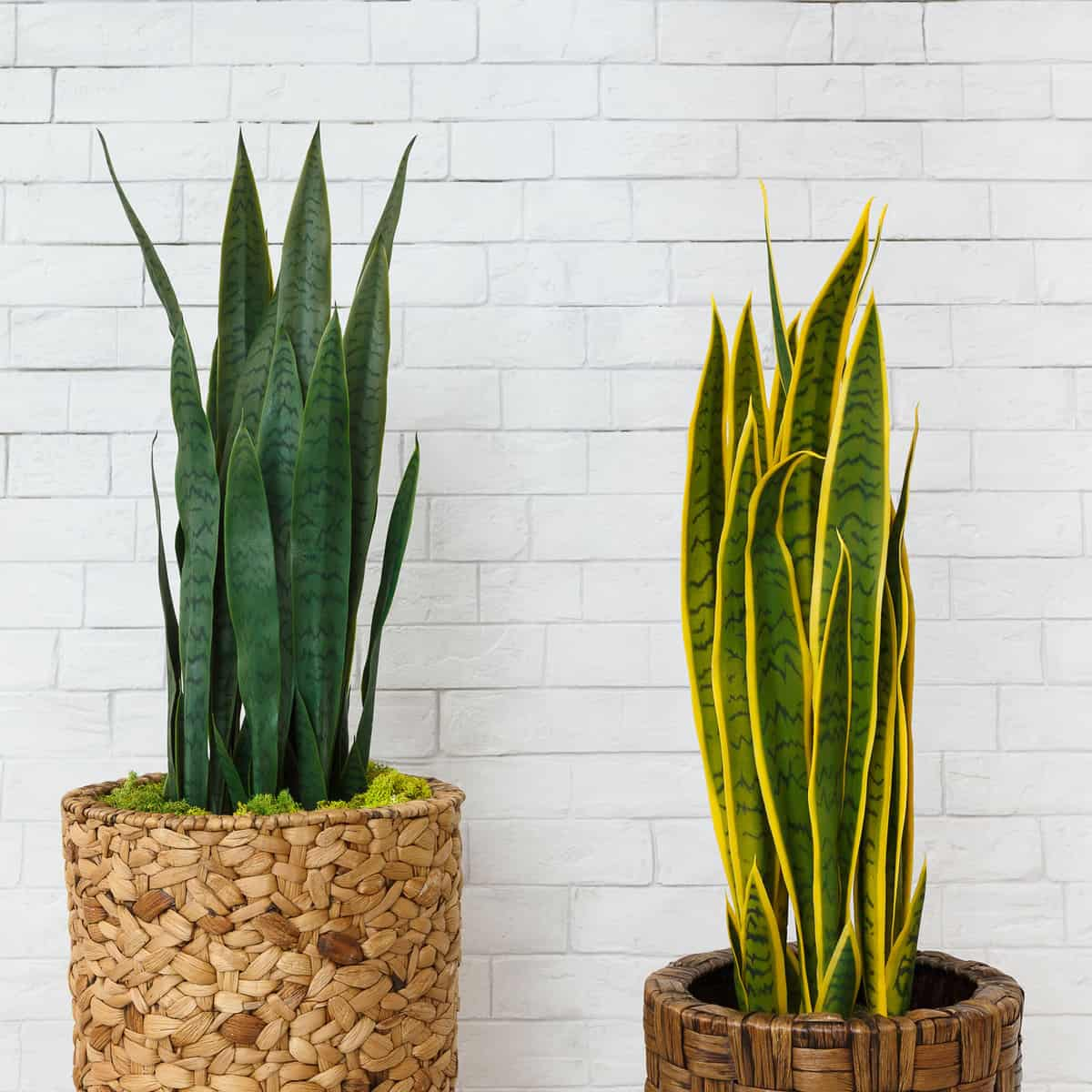 Two gorgeous varieties of snake plants planted on a basket and weaved pot