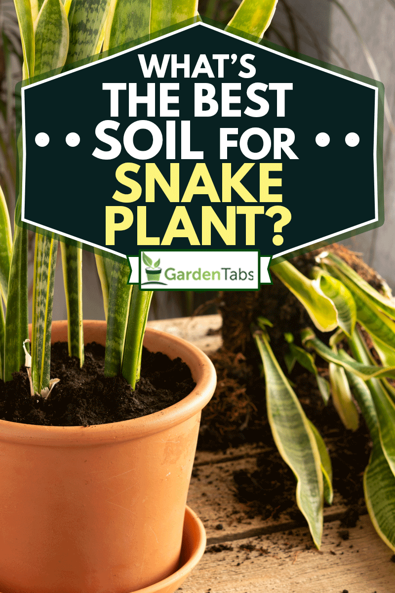 Process of transplanting a houseplant Sansevieria into a clay pot, Snake plants on a wooden table, What's The Best Soil For Snake Plant?