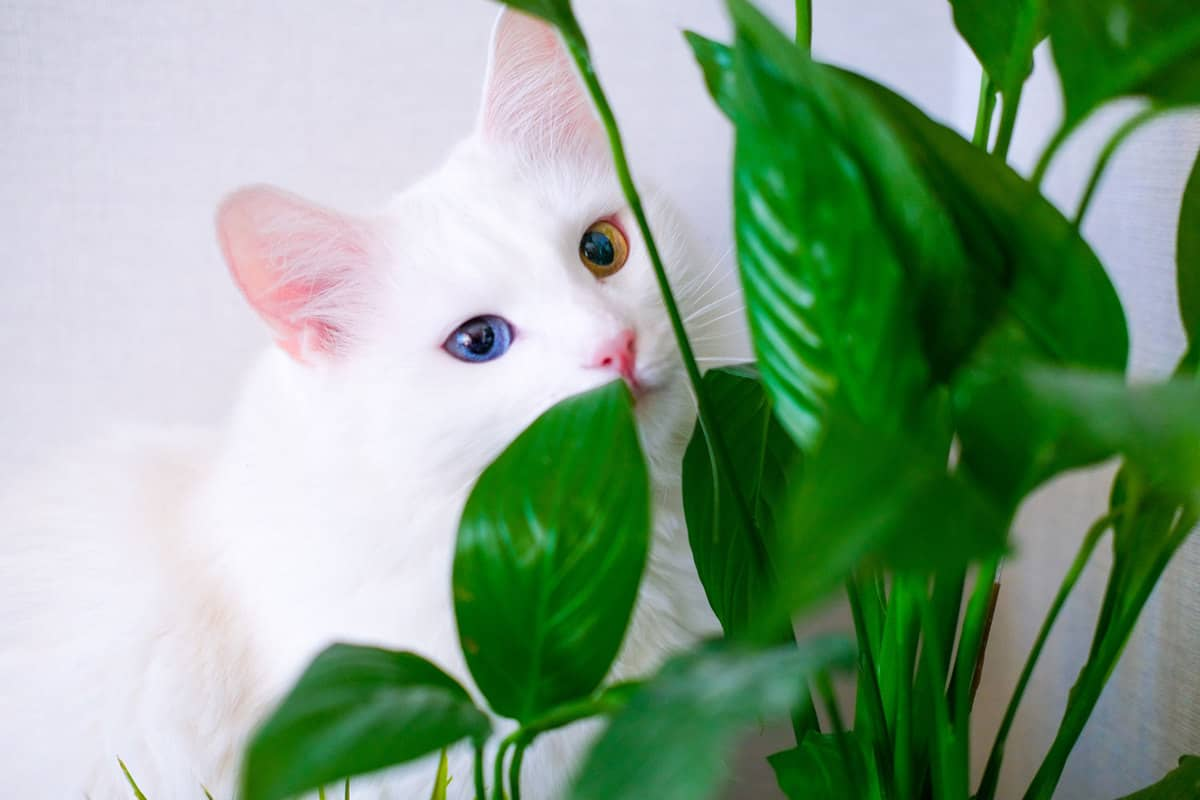 White cat with different color eyes hides behind a green plant. Turkish angora eats peace lily green leaves in living room. Domestic pets and houseplants