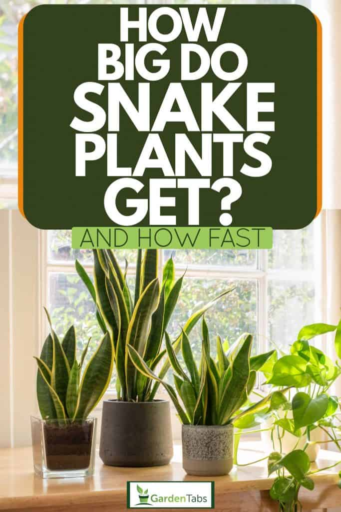 Three gorgeous snake plants placed on top of a console table, How Big Do Snake Plants Get? (And How Fast)