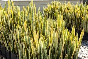 plant cultivation sansevieria trifasciata ( snake plant ), Should You Mist A Snake Plant?