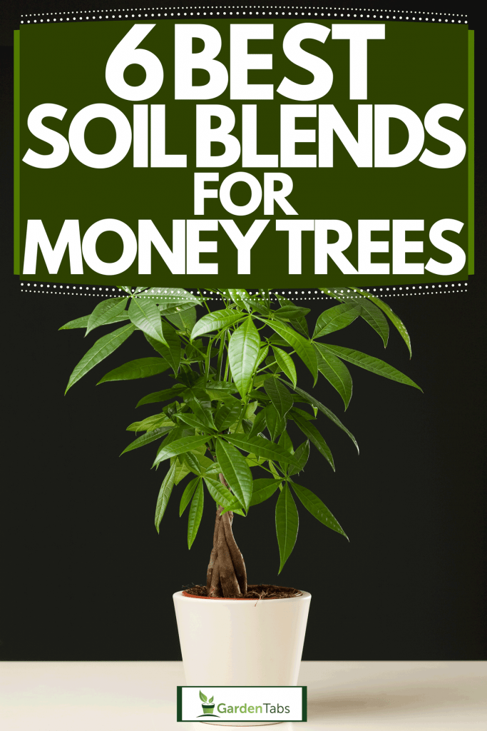 A small money plant planted on a ceramic pot, 6 Best Soil Blends For Money Trees