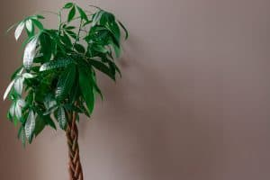 A braided money plant inside a brown walled living room