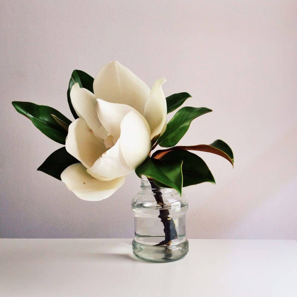 A gorgeous magnolia flower of a magnolia tree placed on a small glass jar
