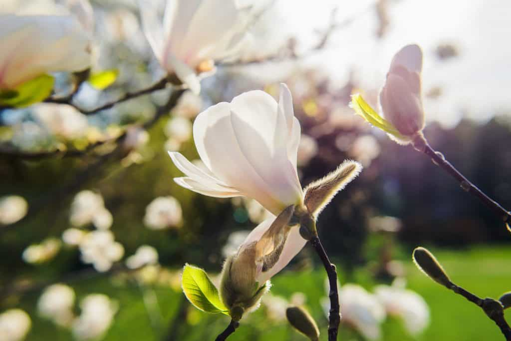 A gorgeous magnolia tree flower blooming on the summer sun outside a garden