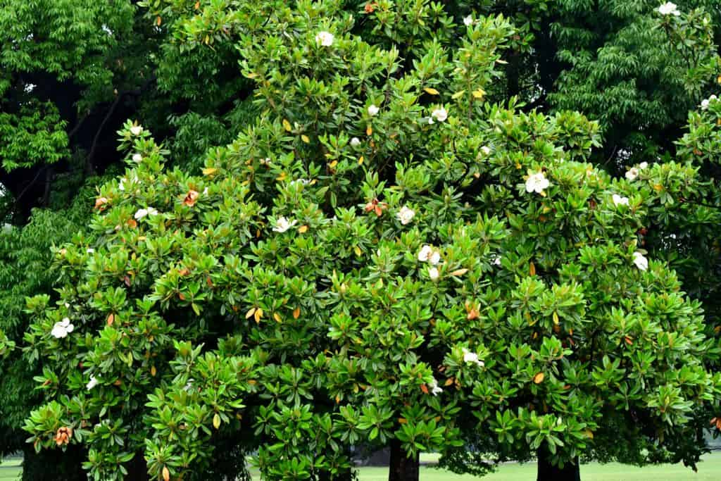 A magnolia tree photographed at a distance with flowers blooming gorgeously in the hot summer sun of June
