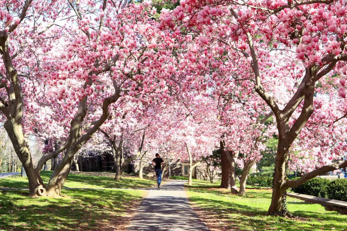 A pathway in a park with beautiful magnolia trees on the sides