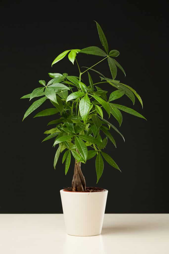 A small money plant planted on a ceramic pot