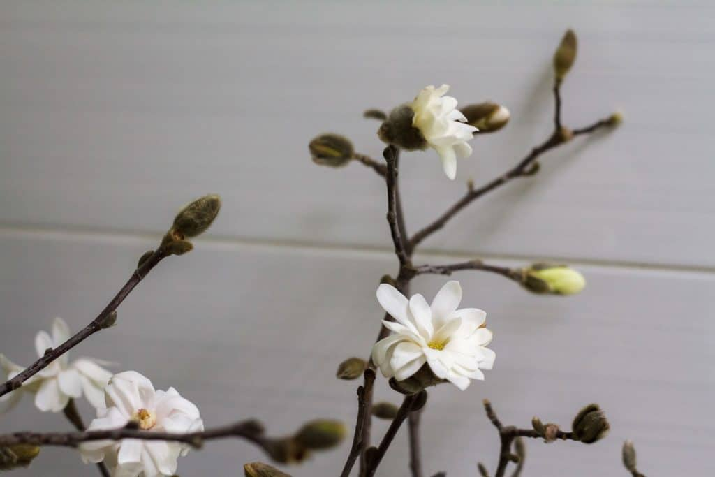A small white magnolia inside a living room