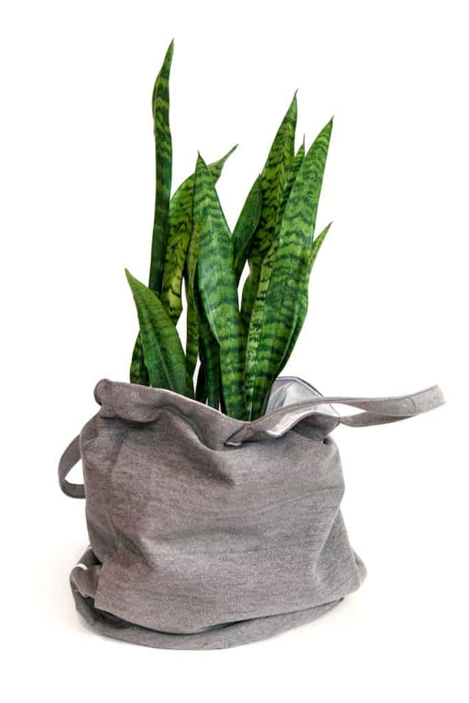 A snake plant placed on a gray cloth bag on a white background