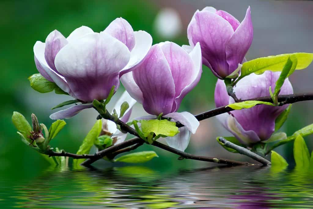 An up close magnolia photo of a magnolia flowers dipping on water