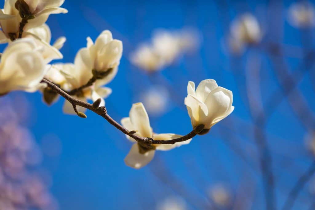 An up close photo of a white magnolia tree on a hot summer day