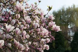 Where Is The Best Place To Plant A Magnolia Tree?