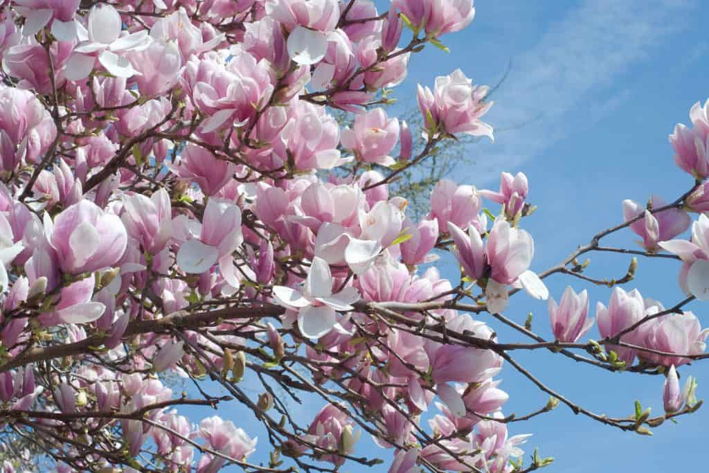 An up close photo of the magnolia trees flowers blooming on a sunny day