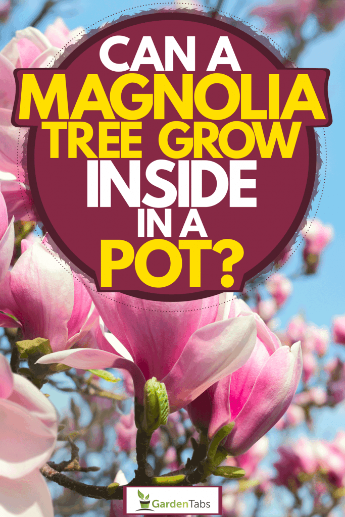 Can A Magnolia Tree Grow Inside In A Pot?