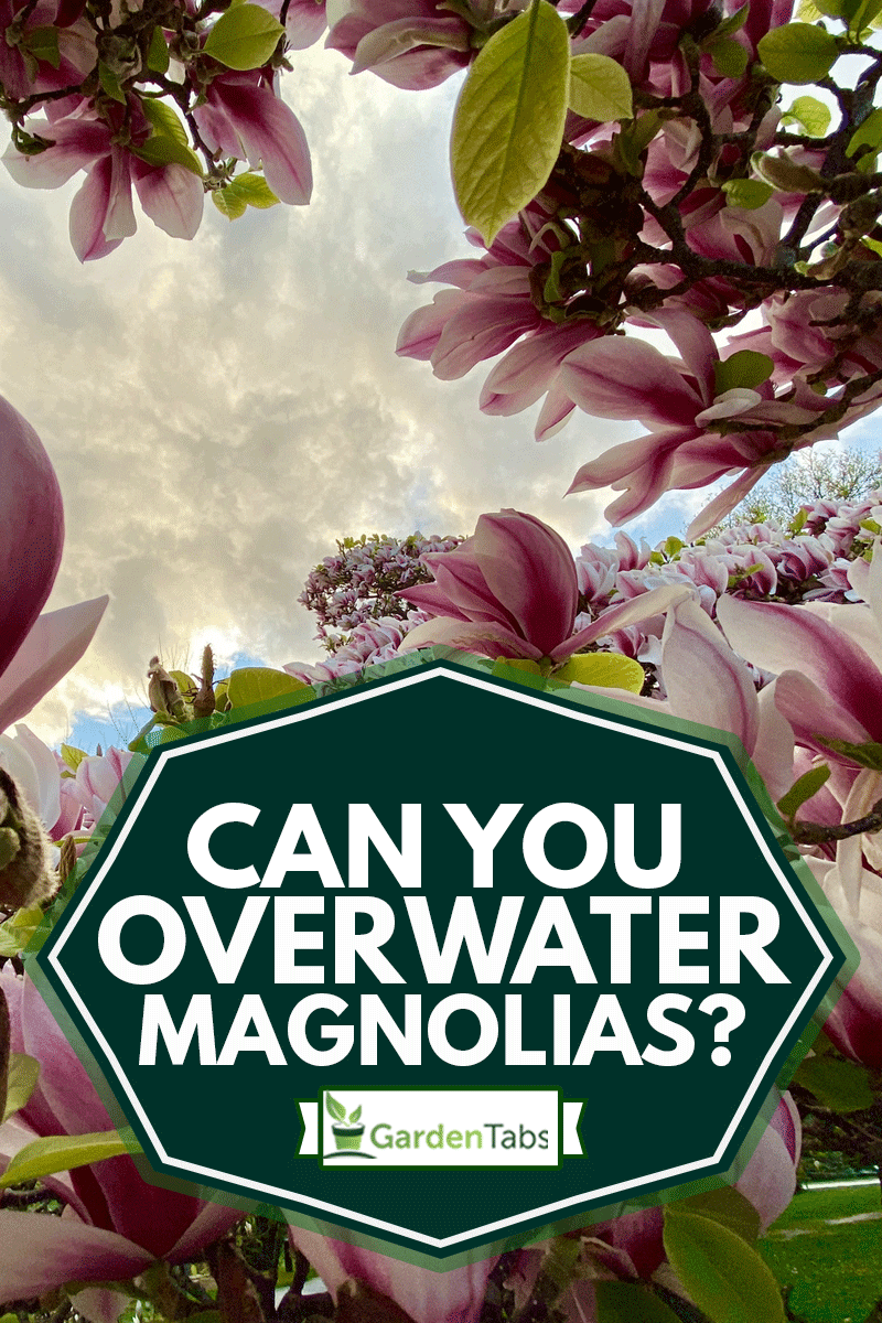 Closeup photo of a beautiful vibrant flowering pink and white Magnolia shrub with green leaves on a sunny day, Can You Overwater Magnolias?