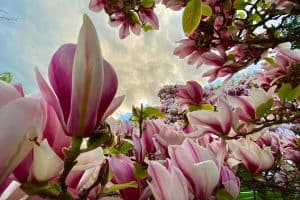 Can You Overwater Magnolias?