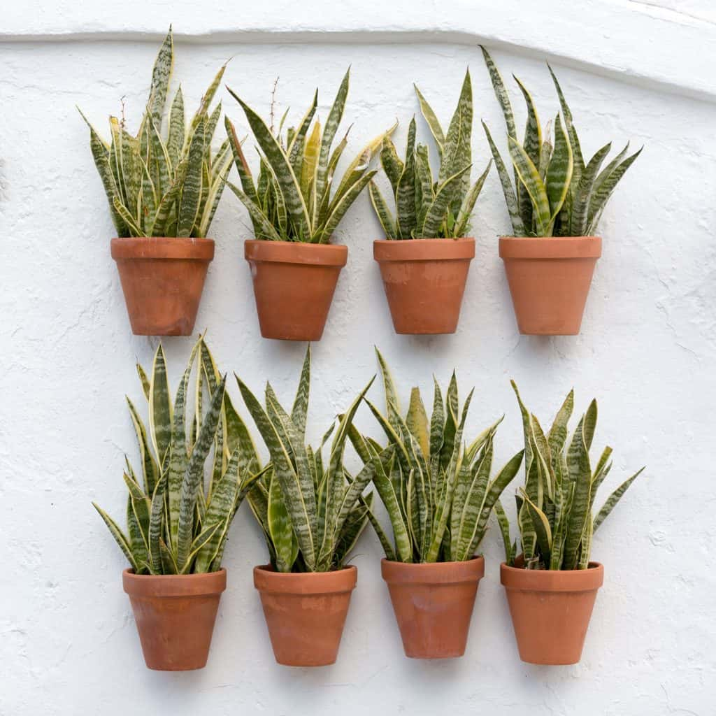 Eight gorgeous snake plants hanged on a wall for a vertical garden aesthetics