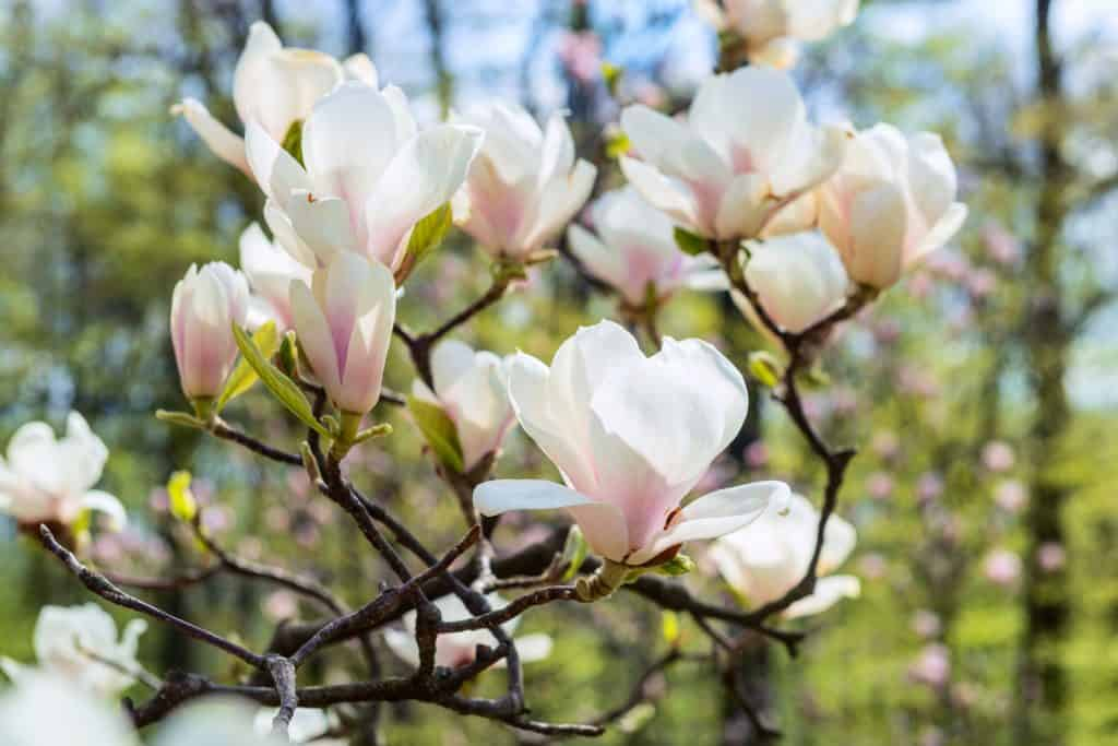 Gorgeous blooming magnolia flowers on a sunny day
