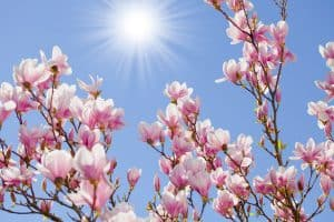 7 Best Magnolia Tree Fertilizers
