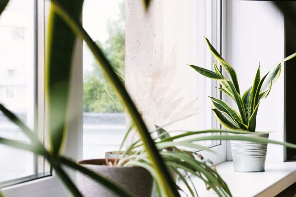 Gorgeous snake plants placed on the window for proper lighting