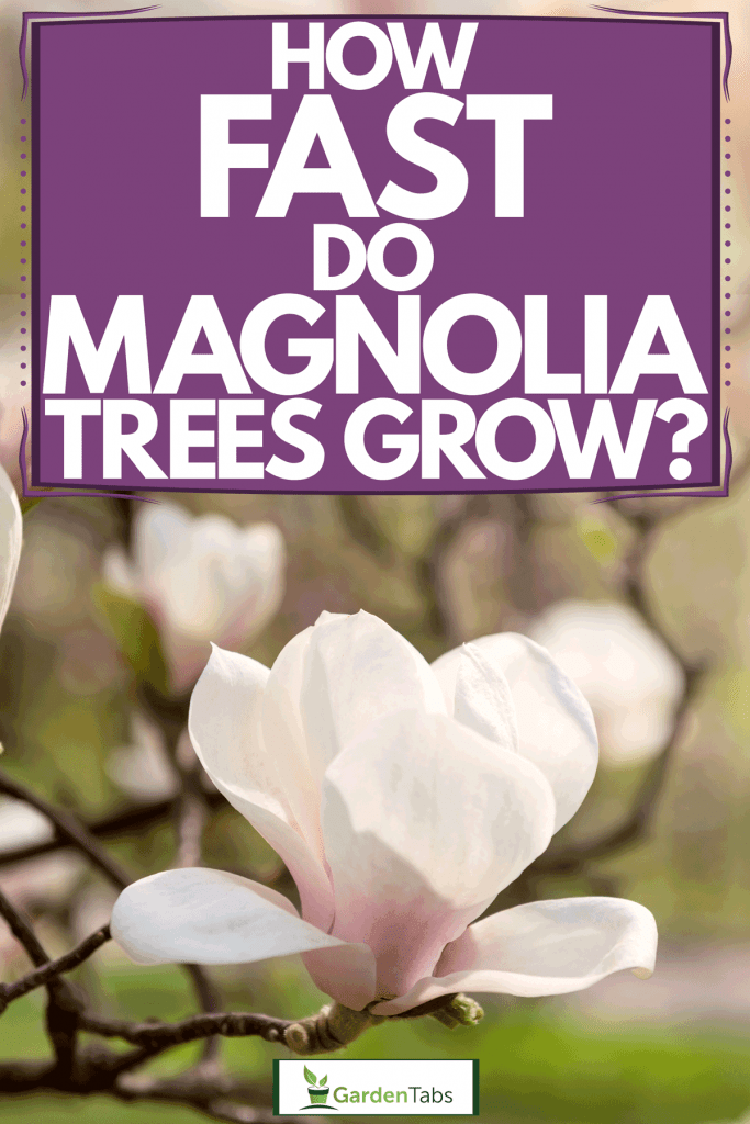Magnolia flowers blooming perfectly in the hot summer sun, How Fast Do Magnolia Trees Grow?
