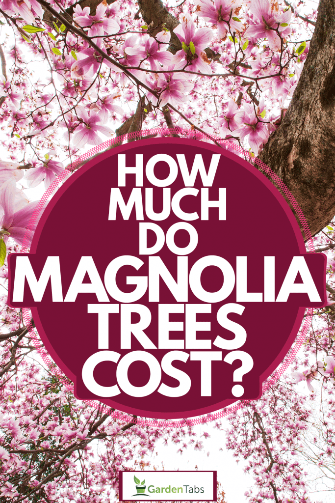 A tall magnolia tree with its flowers blooming on the hot summer sun, How Much Do Magnolia Trees Cost?