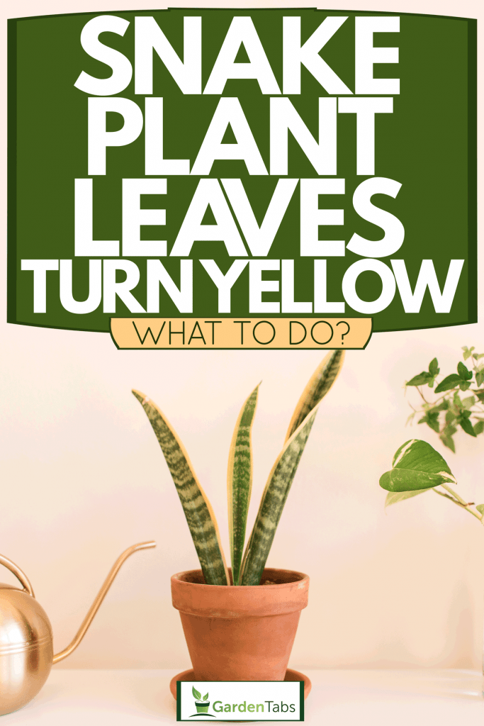 A snake plant placed on a small clay pot inside a beige colored living room, Snake Plant Leaves Turn Yellow - What To Do?
