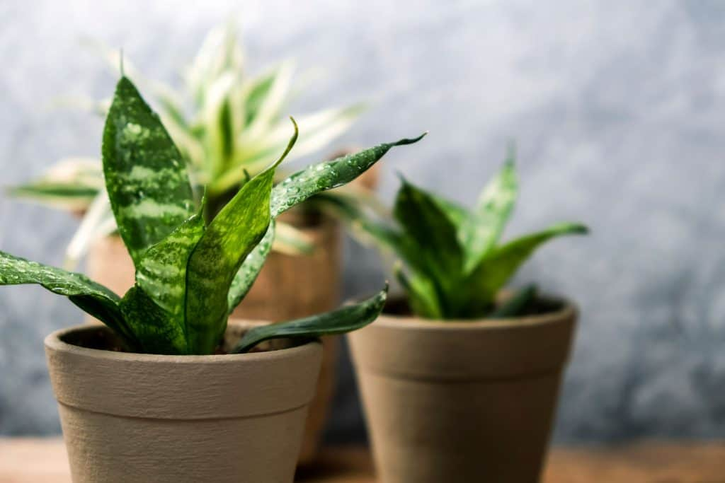 Snake plants placed on brown clay pots inside a house